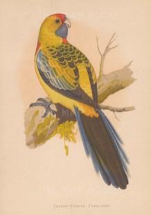 "Greene: Yellow rumped parakeet. 1887. An original antique chromolithograph. 6"" x 9"". [NATHISp7894]"