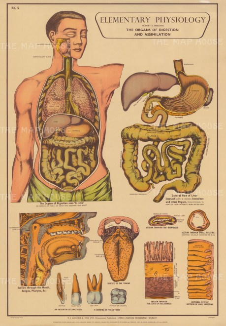 Organs of digestion and Assimilation, with details of the oesophagus, stomach and intestine