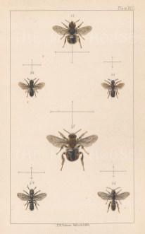 Wool carder bee (1. Anthidium manicatum), Sleepy Carpenter (2. Chelostoma florisomne) and Large-headed resin bee (3.Heriades truncorum).