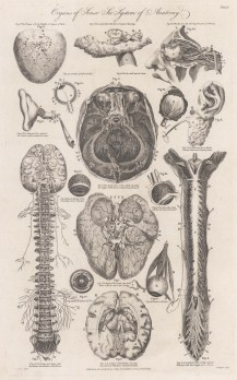 Details of the sensory organs, brain and spinal column.