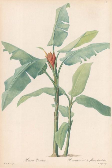 Banana Tree: Musa Coccinea: Bannier a fleurs ecarlates. From Les Liliacées.