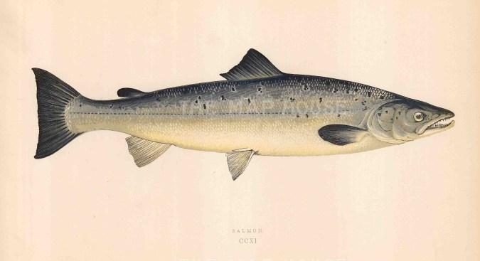 "Couch: Salmon. 1878. An original antique chromolithograph. 9"" x 5"". [NATHISp7103]"