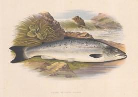 "Houghton: Salmon. 1879. An original antique chromolithograph. 12"" x 9"". [NATHISp7115]"