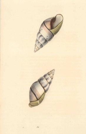 Achatina perversa: Reverse Achatina from Bahia, Brazil. Two aspects.