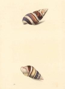 Achatina fasciata: Chestnut banded Achatina, two aspects.
