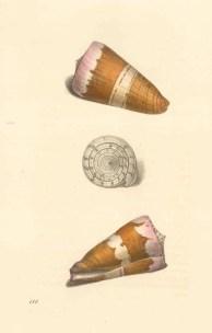 Conus carinatus: Carinated cone from the Asiatic seas, three aspects.