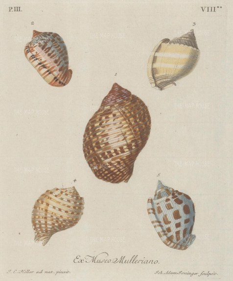 Five mollusc shells from the collection of Philipp Ludwig Muller, professor of Natural History, after drawings by Johann Keller, professor of Drawing at Erlangen.