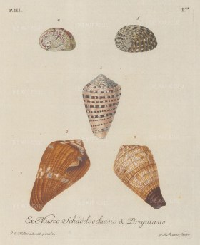 Five mollusc shells from the collection of August Martin Shadeloock, parson of St Lorenz, Nurmberg. After Johann Keller, Professor of drawing at Erlangen.