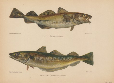 """Maxwell: Cod and Whiting. 1904. An original colour antique photo-lithograph. 10"""" x 7"""". [NATHISp7649]"""