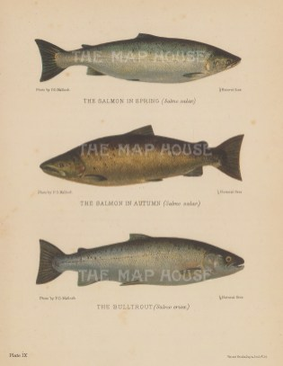 Salmon in Spring and Autum (Salmo salar) and Bulltrout (Salmo eriox): After P.D Malloch.