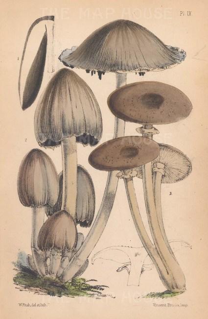1, 2. Agaricus atramentarius. 3. Agaricus melleus.