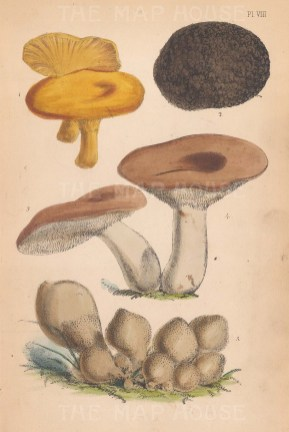 1. Cantharellus cibarius. 2. Tuber æstivum. 3, 4. Hydnum repandum. 5. Lycoperdon pyriforme.