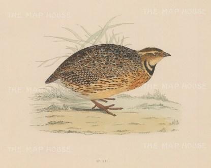 """Morris: Quail. 1869. An original hand coloured antique lithograph. 11"""" x 10"""". [FIELDp1531]"""