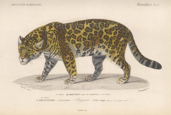 "d'Orbigny: Jaguar. 1849. An original antique hand coloured lithograph. 9"" x 6"". [NATHISp7343]"