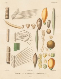 Segments of Guilelmia insignis, Acrocomia Totai and Astrocarym Chonta. d'Orbigny reached South America 5 years before his rival Charles Darwin, cataloguing over 10,000 species in 8 years.