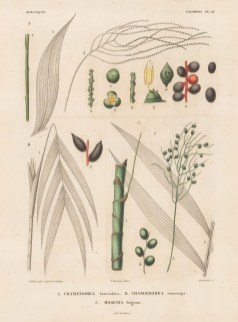 Segments of Chamaedorea lanccolata, Chamaedorea conocarpa and Morenia fragrens. d'Orbigny reached South America 5 years before his rival Charles Darwin, cataloguing over 10,000 species in 8 years.