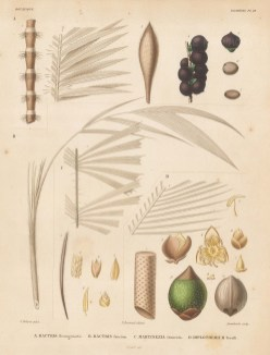 Segments of Bactris Brongniartii, Bactris faucium, Martinezia truncata and Diplothemium Toralli. d'Orbigny reached South America 5 years before his rival Charles Darwin, cataloguing over 10,000 species in 8 years.