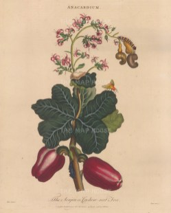 Branch with fruit. Engraved by John Pass.