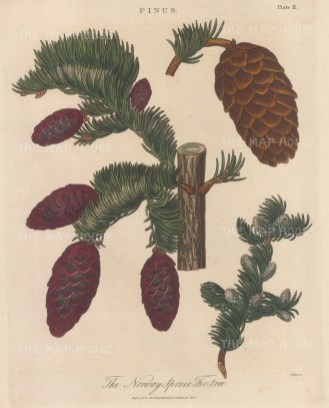 Norway Spruce Fir tree branch with cones. Engraved by John Pass.
