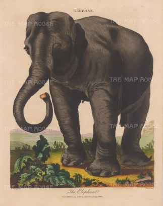 Indian elephant. Engraved by John Pass.