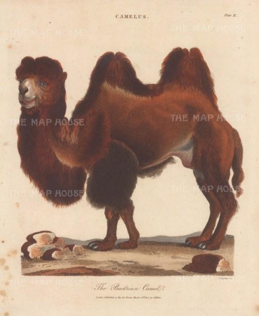 Bactrian Camel. Engraved by John Chapman.