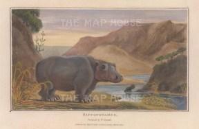 "Daniell: Hippopotamus. 1807. A hand coloured original antique aquatint. 7"" x 4"". [NATHISp7867]"