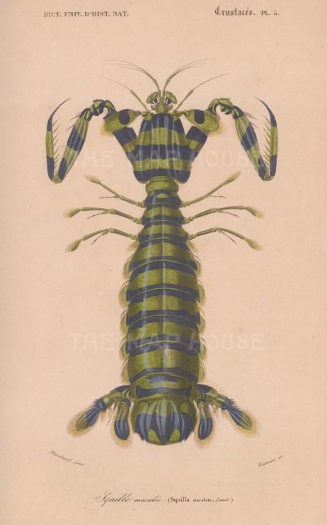 """d'Orbigny: Giant Mantis Shrimp. 1849. An original antique hand coloured lithograph. 6"""" x 9"""". [NATHISp7917]"""