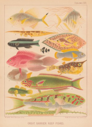Great Barrier Reef Coral Fish: 15 types of coral fish. Key available.