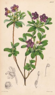 Scaly Rhododendron. Small purple flowers. After Walter Hood Fitch.