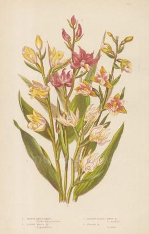 Marsh, Large White, Narrow leaved and purple Helliborine.