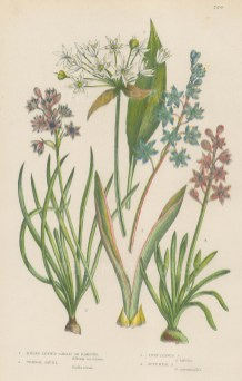 Broad leaved Garlic and Vernal, Twin leaved and Autumnal Squill.