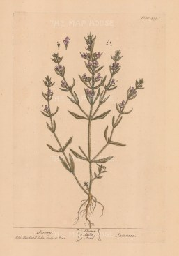 Summer savory with flower, calix and seed.