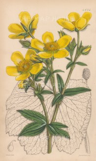 Cortusa-leaved buttercup. After Walter Hood Fitch.