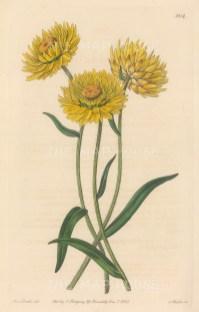 Yellow Strawflower. By Miss Drake.