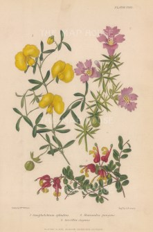 Hemiandra pungens, Gompholobium splendens and Grevillia elegans. After Augusta Withers.