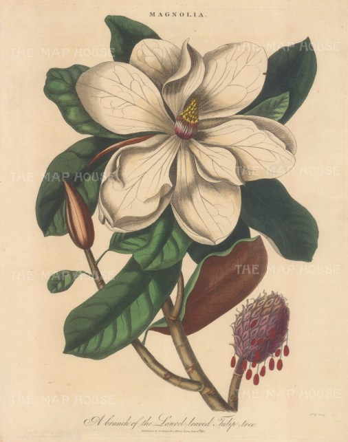 Blooming branch of the laurel leaved Tulip tree. Engraved by John Pass.