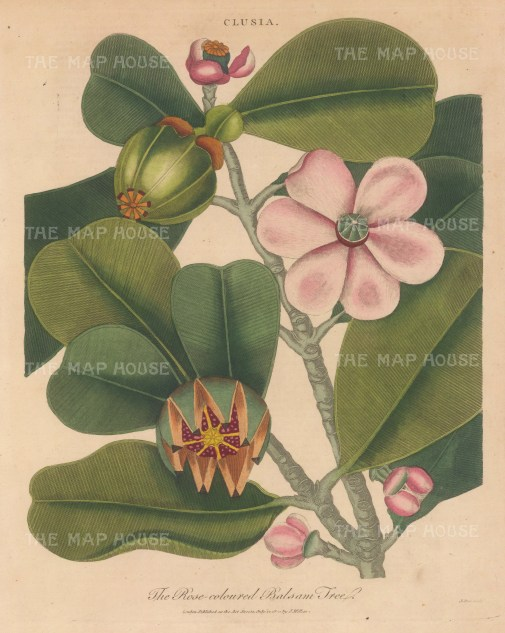 Flowering branch with fruit of the Rose coloured Balsam. Engraved by John Pass.
