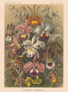 Orchideae Penusblumen. 16 types. Key available.