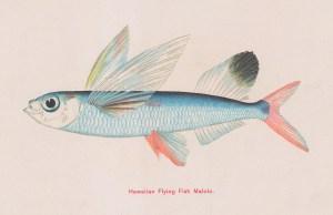 Hawaiian Flying Fish.