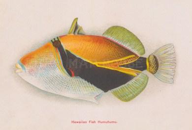 Hawaiian Humuhumu.