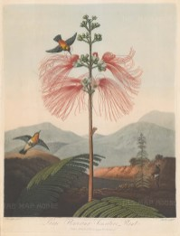 Flowering Sensitive Plant: Set within an Indian landscape with hummingbirds and an admirer in the foreground.