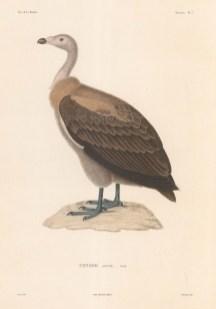Condor: After Florent Prevost, ornithologist on the voyage of La Bonite 1836-7.