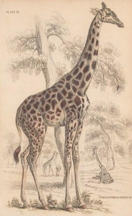 "Jardine: Giraffe. 1843. An original hand coloured antique lithograph. 6"" x 4"". [NATHISp8105]"