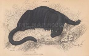 "Jardine: Panther. 1843. An original hand coloured antique lithograph. 6"" x 4"". [NATHISp8106]"