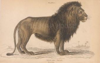 """Jardine: Lion. 1843. An original hand coloured antique steel engraving. 6"""" x 4"""". [NATHISp8107]"""