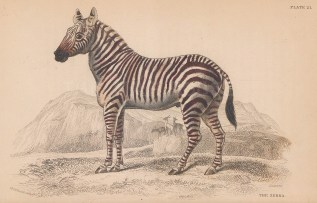 "Jardine: Leopoard. 1843. An original hand coloured antique lithograph. 6"" x 4"". [NATHISp8109]"