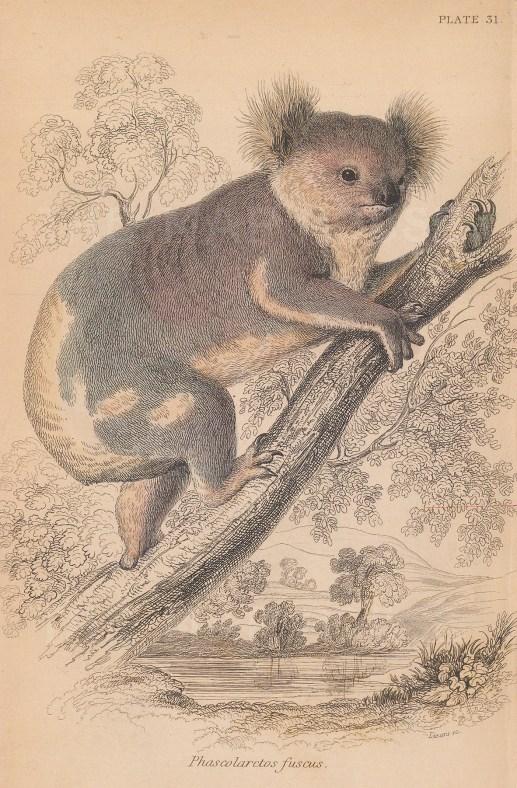 "Jardine: Koala Bear. 1843. An original hand coloured antique lithograph. 6"" x 4""[. NATHISp81112]"