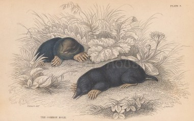 "Jardine: Common Mole. 1843. An original hand coloured antique lithograph. 6"" x 4"". [NATHISp8116]"