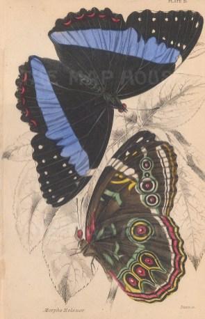 Blue Morpho (Morpho helenor): Upper and underside.