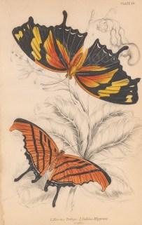 Striped Titan leafwing (Marius tethys): With a Tiger leafwing (Fabius hippona).